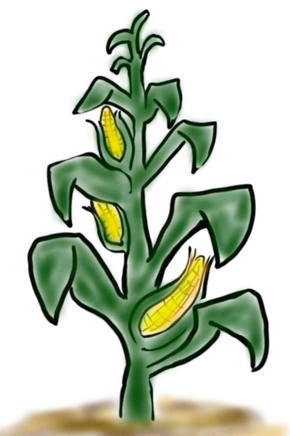 Bumper Crop. Corn Stalk.