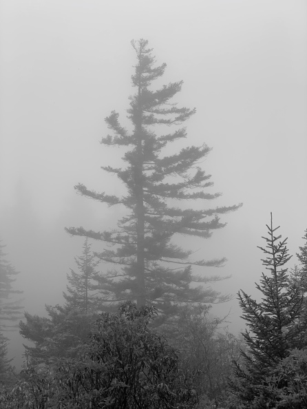 Fog, Pine, Mountain